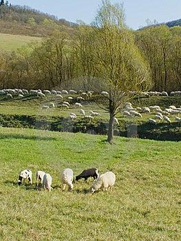 Sheep Flock Stock Photography - Image: 14806782