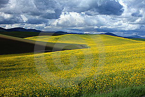 Mustard Field Stock Photography - Image: 14807982