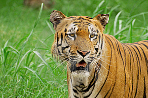 Siberian Tiger Closeup Stock Photography - Image: 14808502