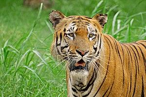 Siberian Tiger Closeup Stock Photography - Image: 14808502