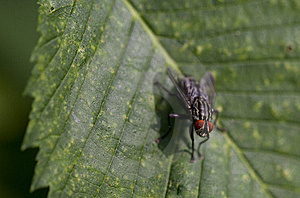 Blow Fly Stock Image - Image: 14809731