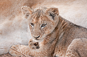 Lion Cub Snuggling Next To Its Mother Stock Photo - Image: 14812300