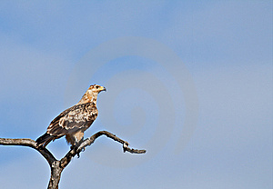 Juvenile Tawny Eagle Stock Images - Image: 14812424