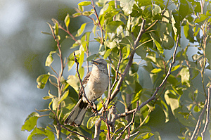 North American Mockingbird Stock Images - Image: 14814924
