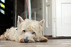 Tired Westie Royalty Free Stock Photo - Image: 14821045