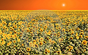Sunflower Orange Sky Royalty Free Stock Image - Image: 14835366
