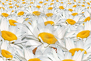 Field White Camomile Stock Photography - Image: 14835462