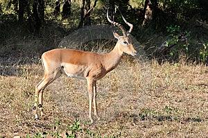 Africa Wildlife: Impala Stock Images - Image: 14836834