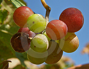 Fruits Of Grapes In Different Colors Stock Photography - Image: 14838772