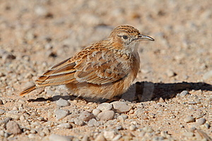 Spike-Heeled Lark Stock Image - Image: 14839551