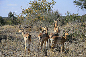 Impala Herd Royalty Free Stock Photos - Image: 14840798