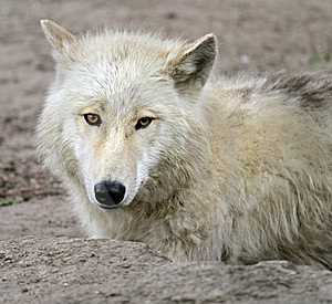 Young Wolf Stock Photo - Image: 14841480