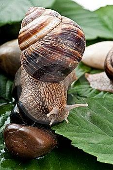 Big Snail Royalty Free Stock Photos - Image: 14844468