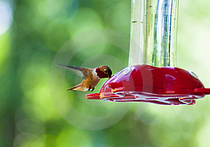Hummingbird Drinking Royalty Free Stock Photography - Image: 14844967