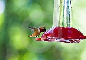 Kolibri-Trinken Lizenzfreie Stockfotografie - Bild: 14844967