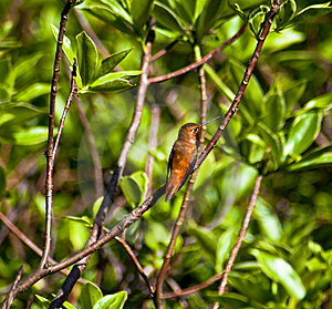 蜂鸟 免版税图库摄影 - 图片: 14844987
