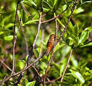 Kolibri Lizenzfreie Stockfotografie - Bild: 14844987