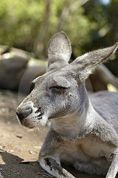 Resting Kangaroo Royalty Free Stock Image - Image: 14850906