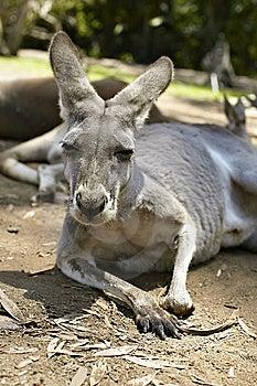 Gentle Kangaroo Lying On The Ground Royalty Free Stock Photos - Image: 14850908
