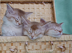 Basket Of Somali Kittens Royalty Free Stock Photography - Image: 14857127