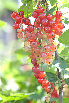 Red Currant Royalty Free Stock Image - Image: 14857606