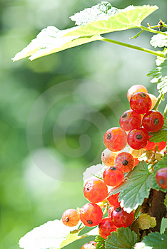Red Currant Royalty Free Stock Photos - Image: 14857618
