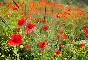 Field Of Poppies Royalty Free Stock Image - Image: 14858376