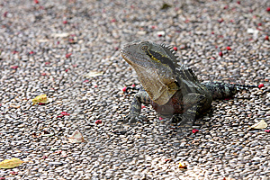 Lizard Royalty Free Stock Photography - Image: 14861027