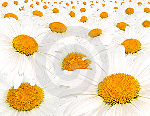 Field White Camomile Royalty Free Stock Photos - Image: 14861678