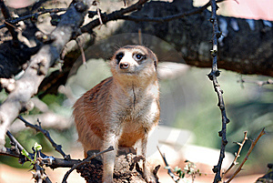 Meerkat Mongoose Stock Photos - Image: 14870163