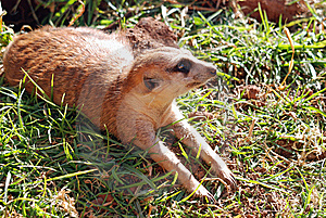 Meerkat Mongoose Royalty Free Stock Photos - Image: 14870178