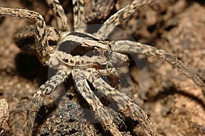 Wolf Spider Royalty Free Stock Photography - Image: 14870677
