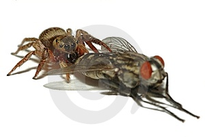 Jumping Spider Hunting Fly Stock Images - Image: 14870714
