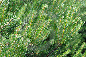 Bright Pines Stock Photography - Image: 14873082