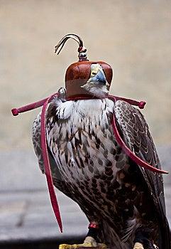 Blinded Hawk Stock Photo - Image: 14873610