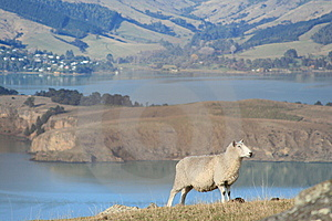 Sheep With A View Stock Photos - Image: 14873963