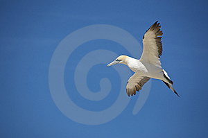 Australian Gannet Stock Photo - Image: 14874320