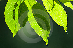 Beautiful Leafs In Sunlight Royalty Free Stock Images - Image: 14874959