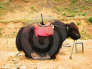 Yak Stock Image - Image: 14876471