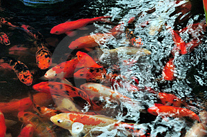 Koi Fishes Royalty Free Stock Photography - Image: 14878387