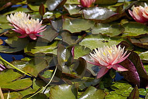 Pink Water Lily Stock Images - Image: 14886964