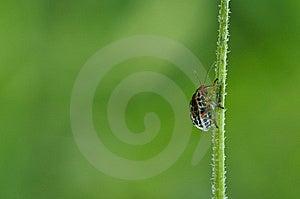 Ladybug Royalty Free Stock Image - Image: 14888386