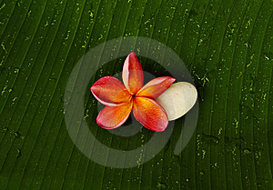 Red Plumeria And White Stone Royalty Free Stock Images - Image: 14888549