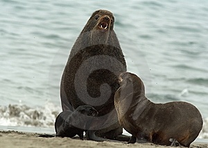 Amicable Family Of Fur Seals Stock Photo - Image: 14889250