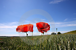 Poppy Royalty Free Stock Photo - Image: 14891035