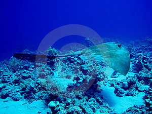 Fantail Stingray Royalty Free Stock Images - Image: 14892149