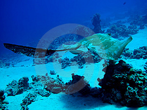 Fantail Stingray Royalty Free Stock Photos - Image: 14892278