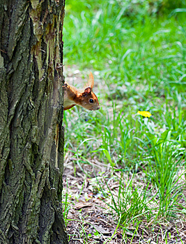 Squirrel Watching From Behind A Tree Royalty Free Stock Images - Image: 14894099