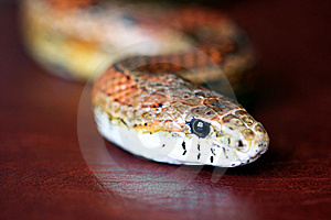 An Orange Corn Snake On Red Leather Stock Photos - Image: 14896123