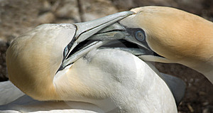 Gannets Fighting For Territory Stock Photo - Image: 14898330